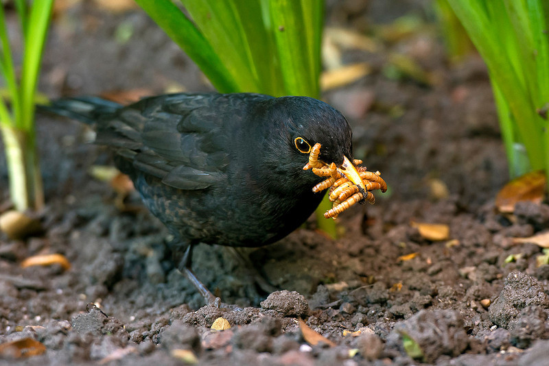 Blackbird male with mealworms 3