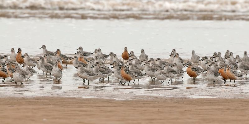 Knot flock summer plumage