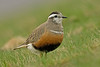 Dotterel 2 Brown Wardle Hill Lancs May 2010