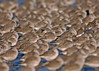 Knot flock 3 Wirral