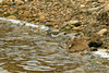 Spotted Sandpiper 4