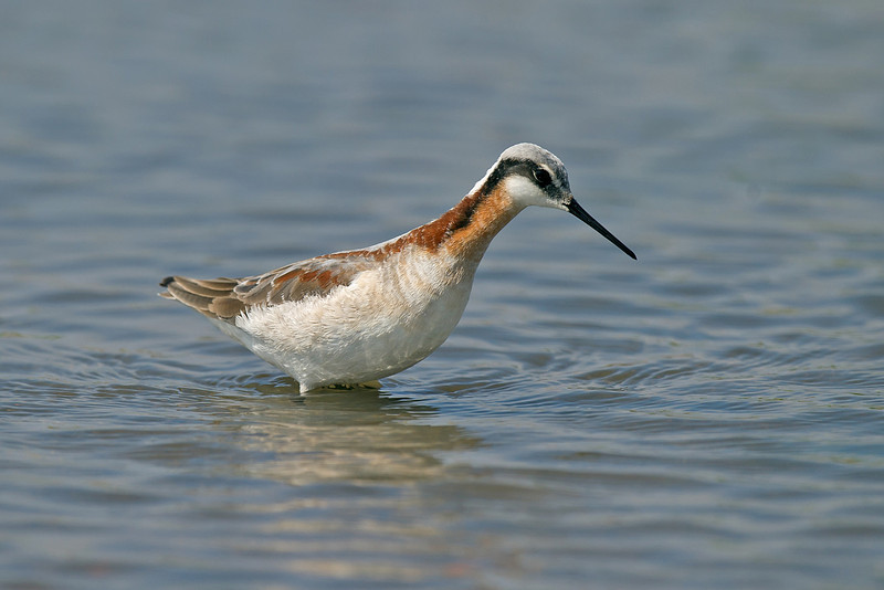 Wilson's Phalarope 2 Seaforth May 2010