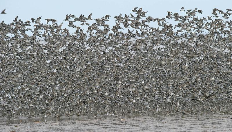 Knot flock 1 Merseyside