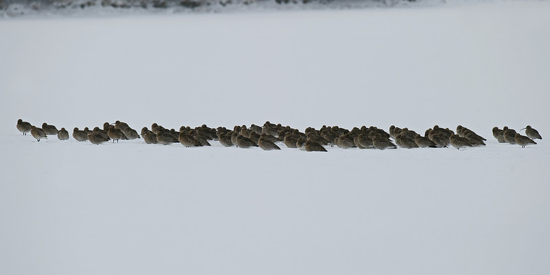 Curlew roost in snow