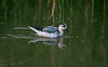 Grey Phalarope 3 Gronant October 2013