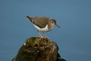 Spotted Sandpiper 3