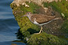 Common Sandpiper 5