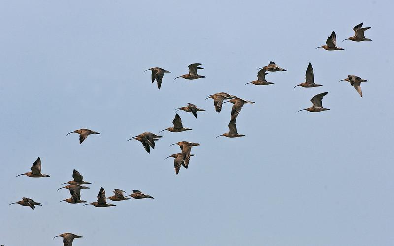 Curlew flock 1