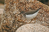 Spotted Sandpiper 1