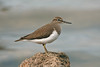 Common Sandpiper 3 juv