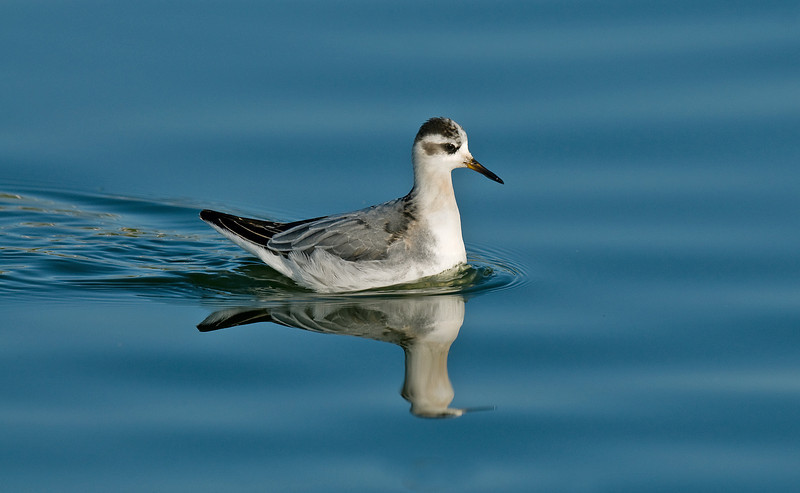 Grey Phalarope 3 Crosby 11-2009