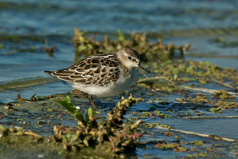 Little Stint Tresco 2012
