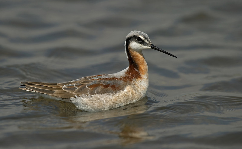 Wilson's Phalarope 1 Seaforth May 2010