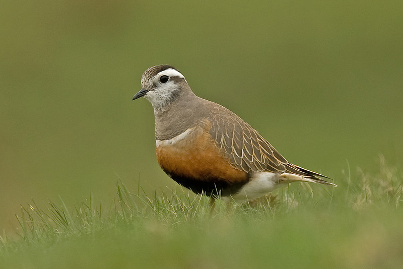 Dotterel 3 Brown Wardle Hill Lancs May 2010