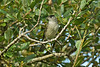 Blackcap male 2