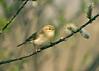 Willow Warbler 8