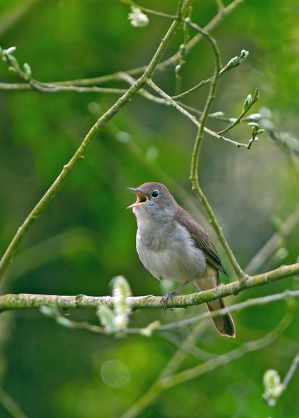 Nightingale 3
