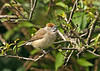 Blackcap female 1