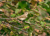 Chiffchaff 11 very pale bird almost Bonelli's like...Scilly