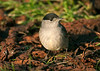 Blackcap male 1