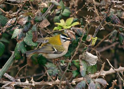 Bird Photos: Warblers incl Nightingale and Vireo