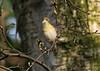 Willow Warbler 5