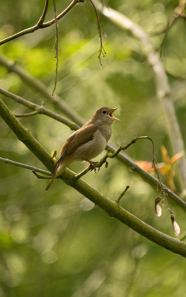 Nightingale 2