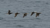 Long-tailed Ducks 2 Shetland April 2013
