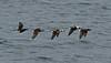 Long-tailed Ducks 2 Shetland April 2013