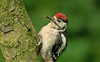 Great Spotted Woodpecker juv 3