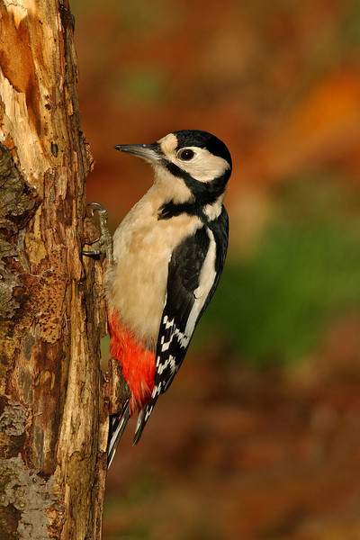 Great Spotted Woodpecker female 5