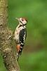 Great Spotted Woodpecker juv 6