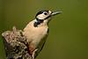 Great Spotted Woodpecker female 7