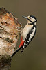 Great Spotted Woodpecker female 1