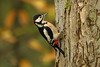 Great Spotted Woodpecker male 4