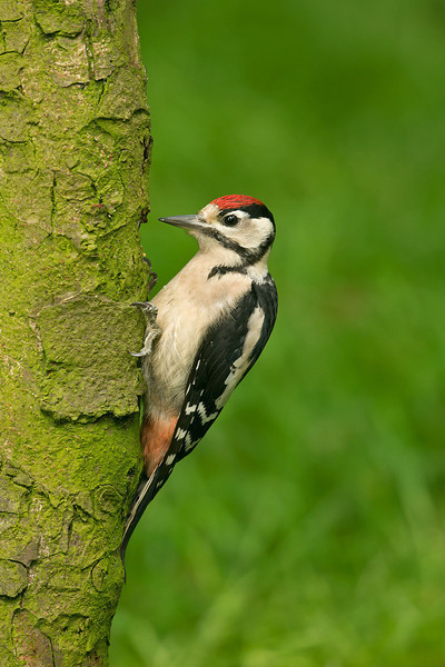 Great Spotted Woodpecker juv 2