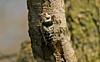 Lesser Spotted Woodpecker male 3