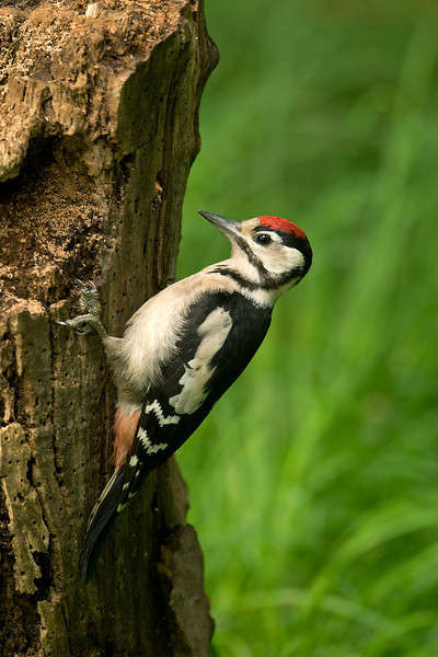 Great Spotted Woodpecker juv 7