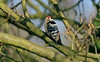 Lesser Spotted Woodpecker male 1