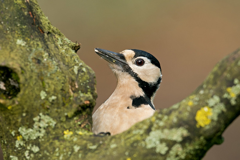 Great Spotted Woodpecker female 2