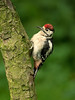 Great Spotted Woodpecker juv 5