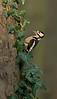 Great Spotted Woodpecker on ivy clad tree 12-13