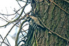 Lesser Spotted Woodpecker January 2014