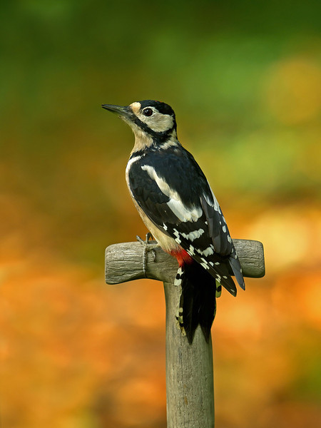 Great Spotted Woodpecker 1st year female