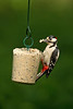 Great Spotted Woodpecker male 3