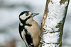 Great Spotted Woodpecker female 4