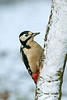 Great Spotted Woodpecker female 3