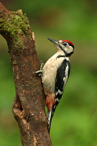 Great Spotted Woodpecker juv 8