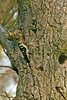 Lesser Spotted Woodpecker female