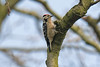 Lesser Spotted Woodpecker male 4